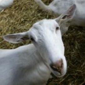 Gedupeerde geitenboeren krijgen hulp van GGD